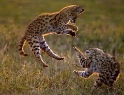 0013 - Le serval