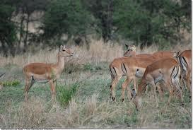 0015 - Kenya-Tazanie:Masai Mara - Serengeti