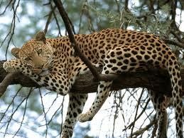 0020 - La panthère,ou léopard