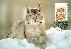 007 - Le lynx d'Amérique du nord