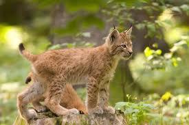 008 - Le lynx d'Eurasie
