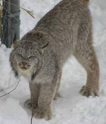 010 - Le lynx d'Amérique du nord