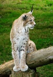 011 - Le lynx d'Eurasie