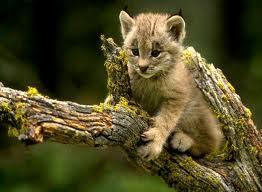 014 - Le lynx roux,ou bobcat