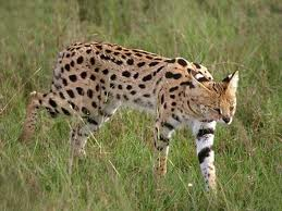016 - Le serval