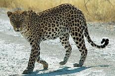 023 - La panthère,ou léopard