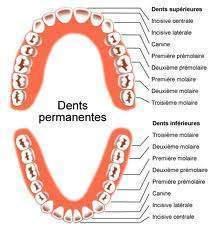 166 - Certains adultes ont-ils plus de 32 dents ?