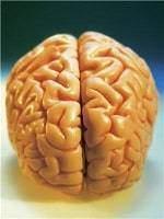 Pourquoi lecerveau a t il des plis1 - Pourquoi le cerveau a-t-il des plis?