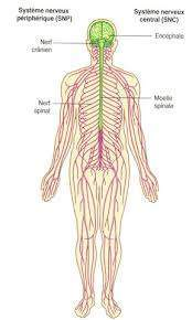 F6 - L'anatomie du système nerveux