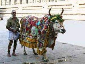 téléchargement 41 300x225 - L'hindouisme : Les vaches