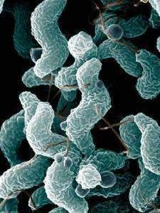 ARS Campylobacter jejuni01 225x300 - Protéobactéries ε