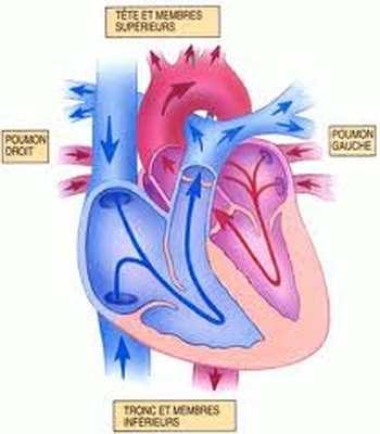 Anatomie cardiaque