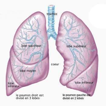 Anatomie pulmonaire - Anatomie pulmonaire