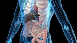 Intestin - Intestin