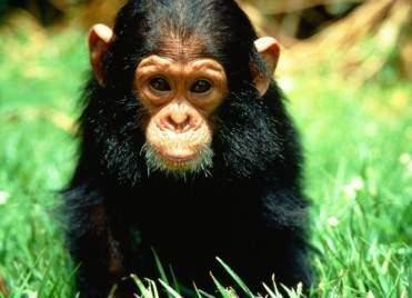 Les chimpanzés - Les chimpanzés