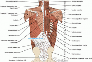 muscles of back anatomy illustration micheau imagelarge 300x203 - Anatomie muscles