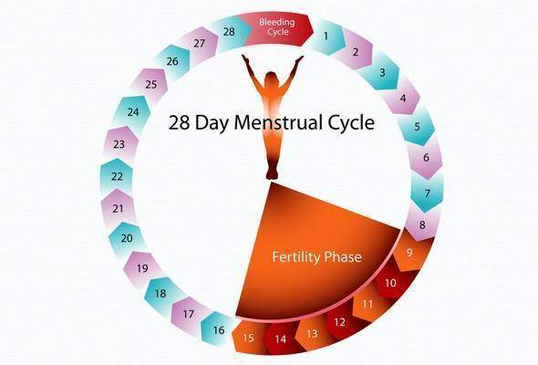 Ovulation et Cycle