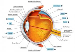 anatomie-oeil