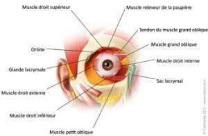 oeil 300x196 - Comment la vue fonctionne-t-elle?