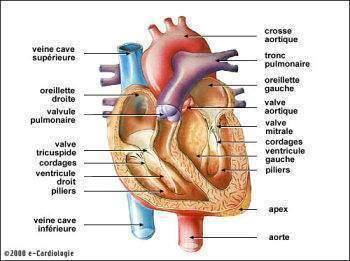 Anti age le cœur et l infection - Anti-âge : le cœur et l'infection