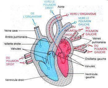 le rôle du calcium dans la contraction cardiaque - La circulation: le rôle du calcium dans la contraction cardiaque