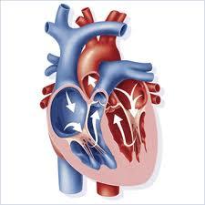 L-appareil-circulatoire-coeur-sang-et-circulation