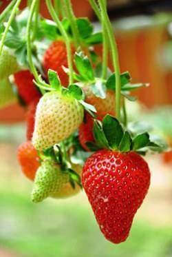Les avantages pour la sante des feuilles de fraisier - Les avantages pour la santé des feuilles de fraisier :